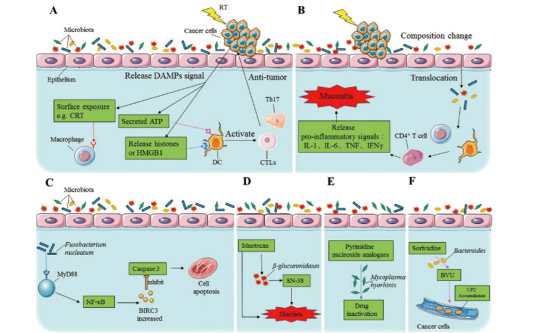 Microbiota in cancer chemoradiotherapy resistance