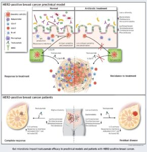 Gut Microbiota Condition the Therapeutic Efficacy of Trastuzumab in HER2-Positive Breast Cancer